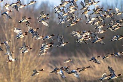 Flock of Migratory Eurasian wigeon ducks