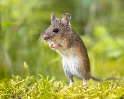Erect Standing Wood mouse in green surroundings