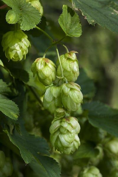 Twig of hop cones