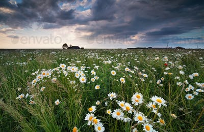 chamomile flower field and cloudy sky