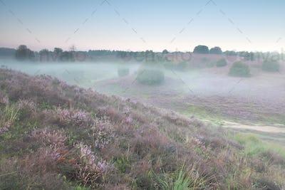 mist morning on heather flowering hills