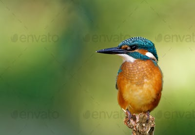 Common Kingfisher on the hunting position, horizontal