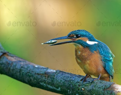 Common Kingfisher( Alcedo atthis) is turning the fish in the beak
