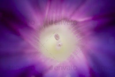 Detail of Convolvulus flower with pollen granes