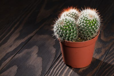 Cactus on wooden table