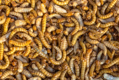 Mealworm larvae background