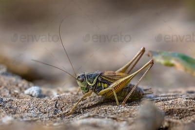 Roesels bush cricket in natural habitat