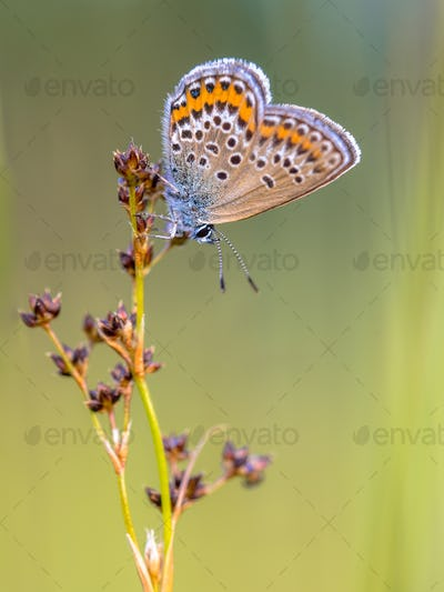 Female silver studded blue butterfly preparing for night