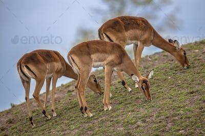 Group of three impala