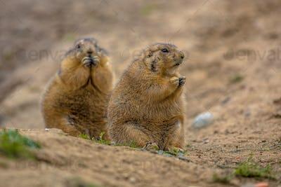 Cute prairie dogs  feeding