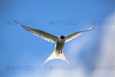 Hovering Arctic tern