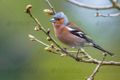 Chaffinch perched on a branch
