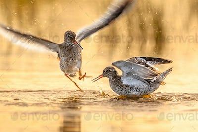 Fighting Common Redshank
