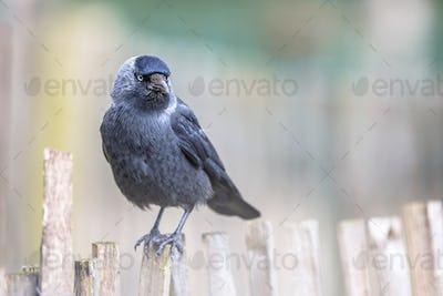 Western Jackdaw on chestnut fence