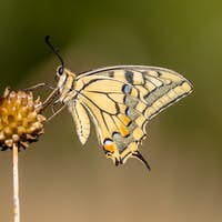 Swallowtail resting in the Morning Light