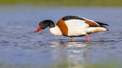 Foraging Common shelduck