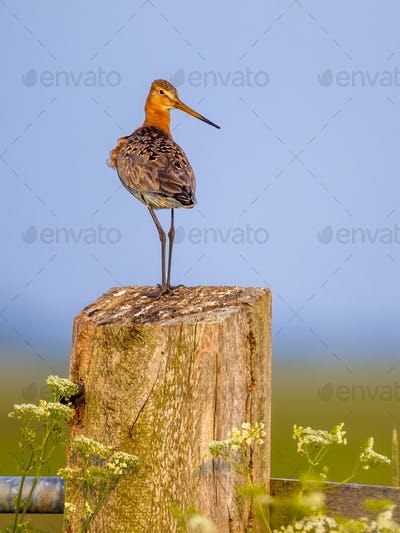 Suspicious Black-tailed Godwit on post