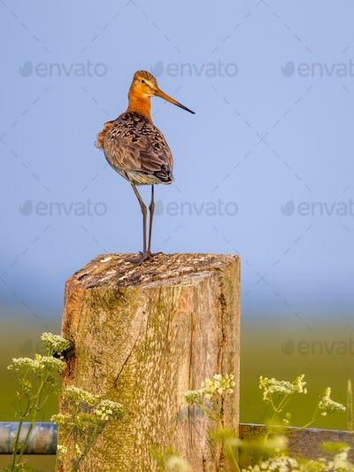 Suspicious Black-tailed Godwit on post