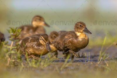 Group of duckling running through grass