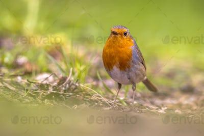 Looking Robin in grass backyard