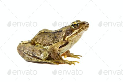 Common frog on white