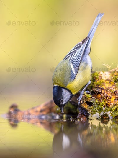 Great tit drinking water