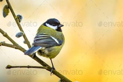 Great tit on pussy willow