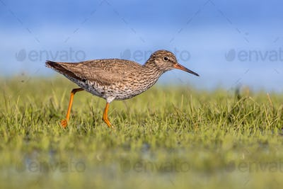 Common redshank running throughr grass