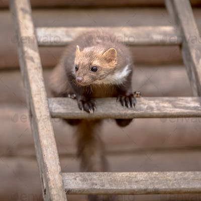 Stone marten sitting on ladder