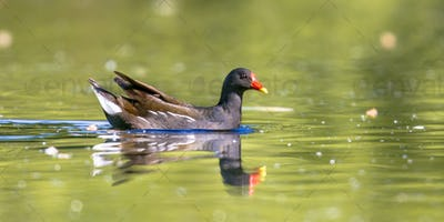 Common moorhen bird swimming in water