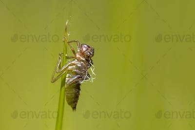 Empty cocoon left by New born Dragonfly