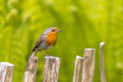 European Robin on fence