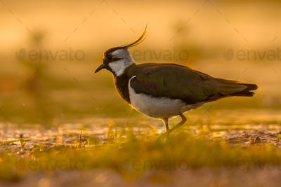 Northern lapwing in wetland with warm morning colors