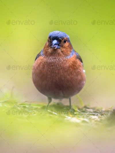 Chaffinch on lawn frontal