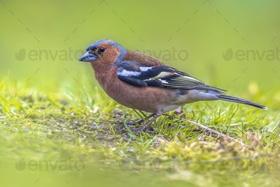 Wild Common Chaffinch on lawn