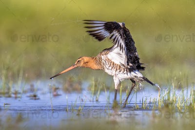 Black-tailed Godwit wader bird shaking off water
