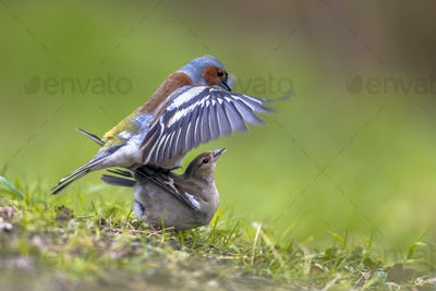 Mating Common Chaffinch on lawn