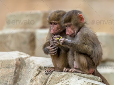 Two juvenile Hamadryas baboons