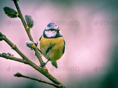 Blue tit on willow twig in vintage colors