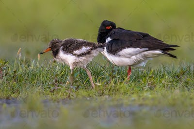 Eurasian oystercatcher with chick