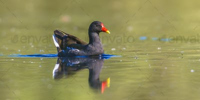 Common moorhen swimming in water