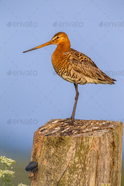 Black-tailed Godwit on post