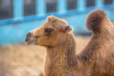 Resting camel with village background