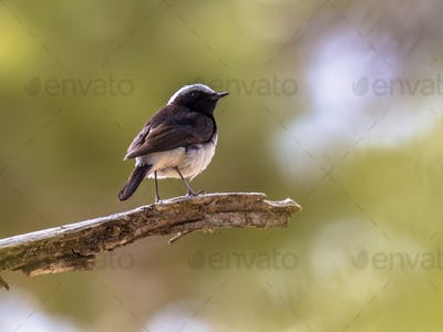 Endemic Cyprus wheatear on branch with green background
