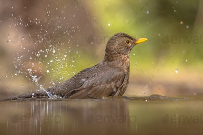 Bathing Female Blackbird