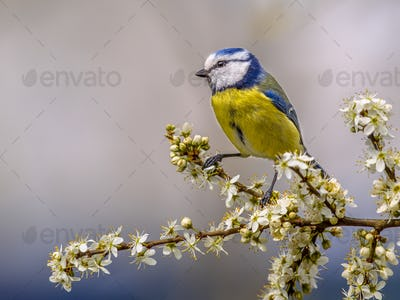 Blue tit on twig with blossom
