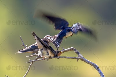 Flying Barn swallow feeding juveniles