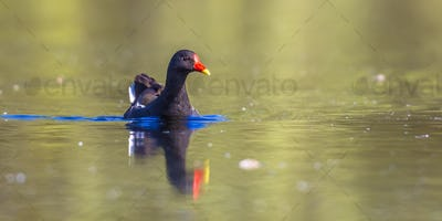 Common moorhen swimming in water of pond
