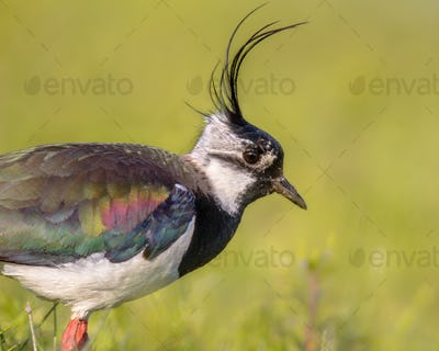 Sideview portrait of Northern lapwing with detailed wing and gre