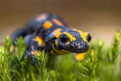 Fire salamander newt on moss